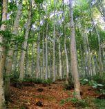 Вековните букови гори в Централен Балкан стават част световното...
