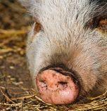 БАБХ започва проверки в дворовете на хората в Пазарджишко за живи прасета