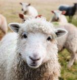 14 хил. животновъди получиха субсидиите си от Държавен фонд